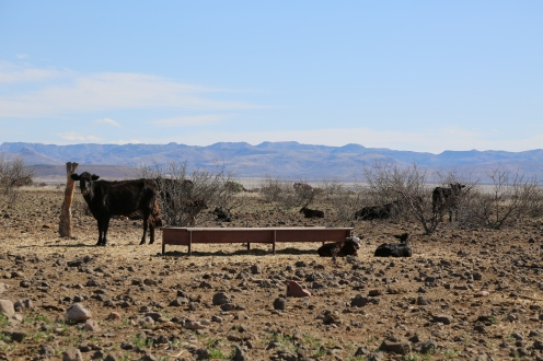 Calves laying by the trough, cattle ready to eat!