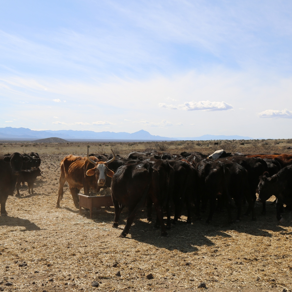 Cattle crowded in around the trough