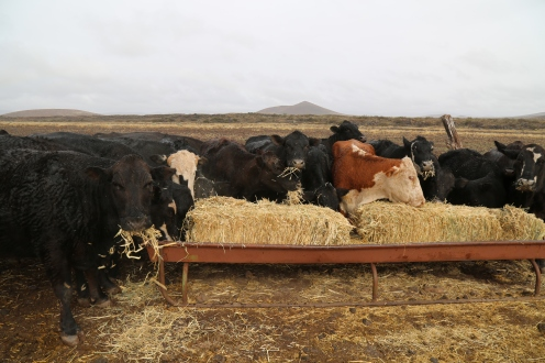Drizzled-on cows the morning it showered on the ranch