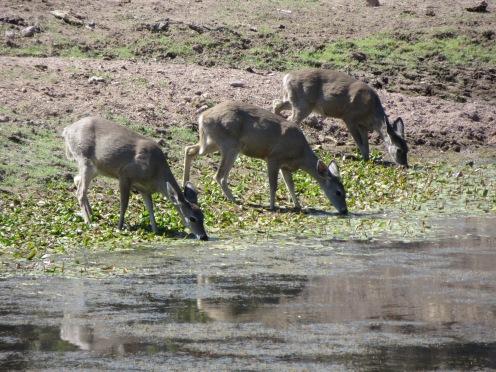 Coues' Deer at a dirt tank
