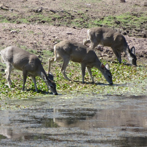 Coues' Deer at a dirt tank