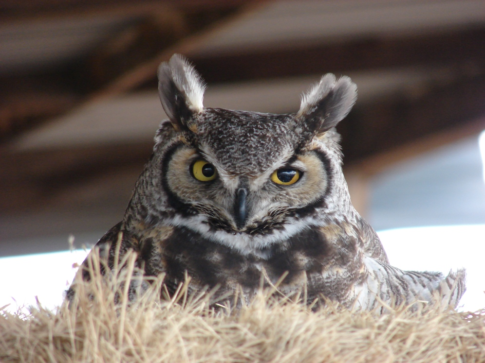 Owl in our haybarn