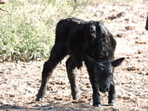 A newborn calf on the ranch