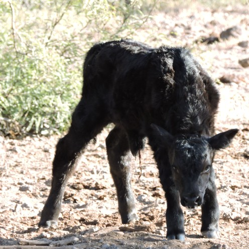 A newborn calf on the ranch