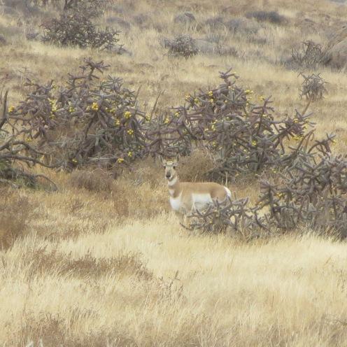 Antelope among Cholla cactus