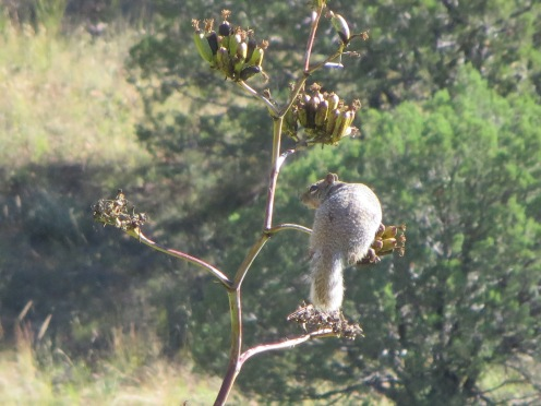 Squirrel on Mescal stalk