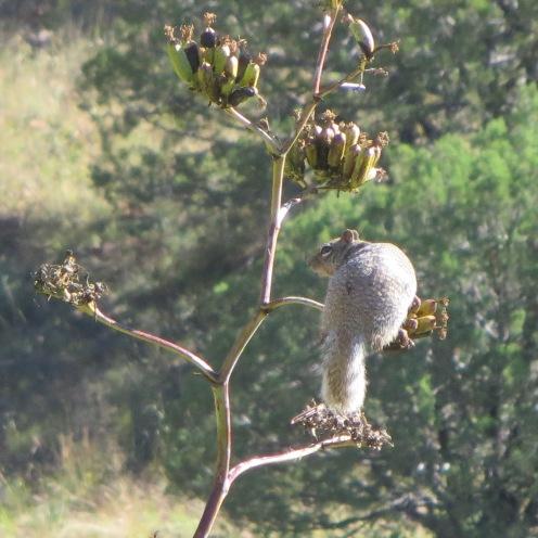 Squirrel on Mescal stalk