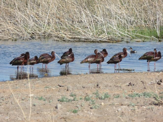 Visiting Waterbirds