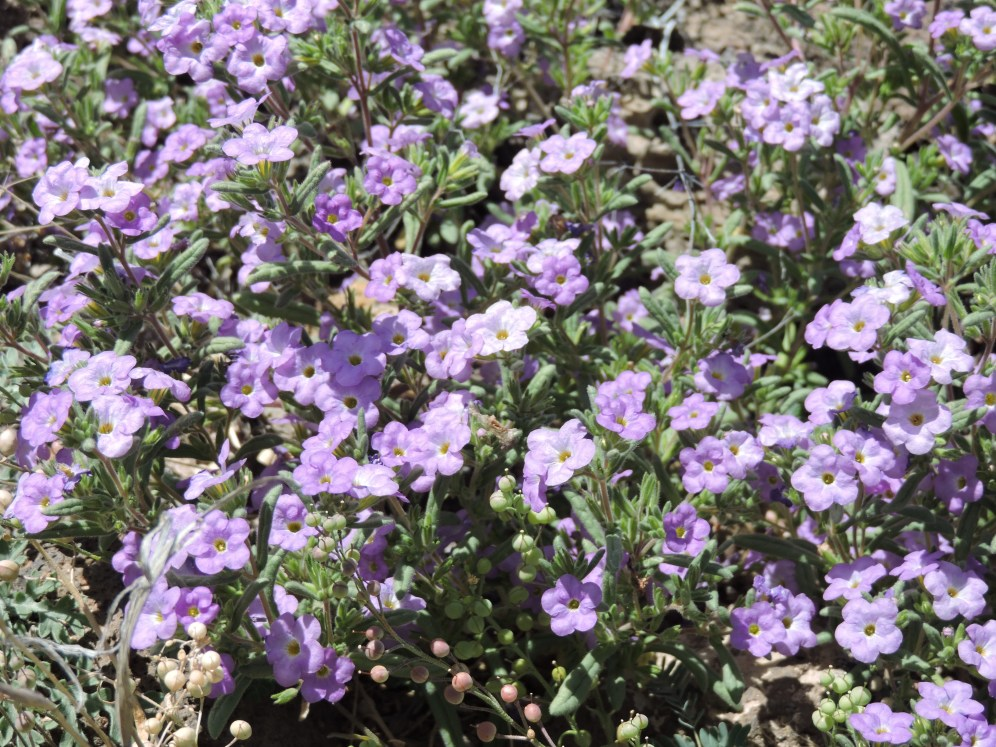 verbena-winter rains-not cow feed